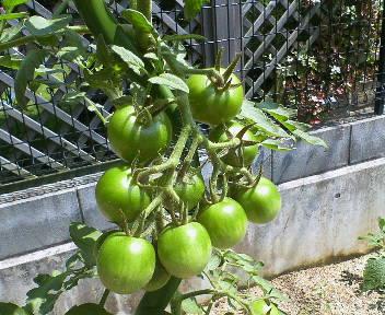 旺盛な中玉トマト