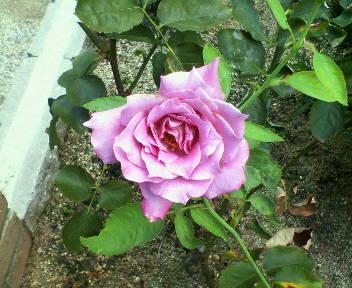 バラが再び咲き始めました