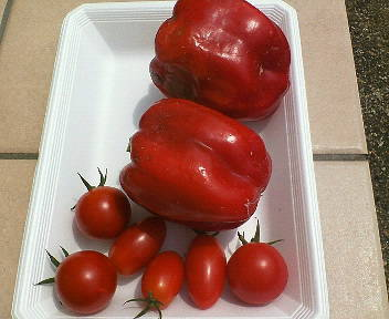 パプリカとトマト収穫