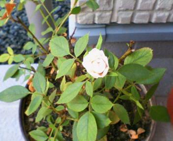 ミニバラが開花
