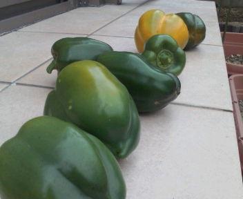 パプリカ最終収穫
