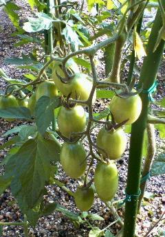 キッチンガーデン トマト