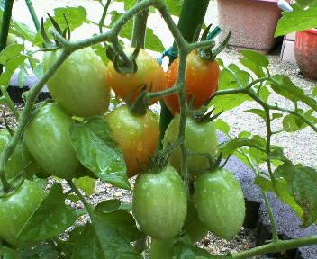 キッチンガーデン ミニトマト