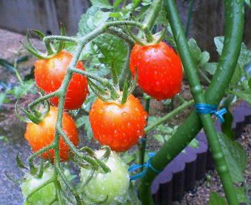 トマトが採れ放題